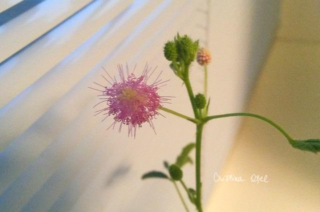 mimoza 3